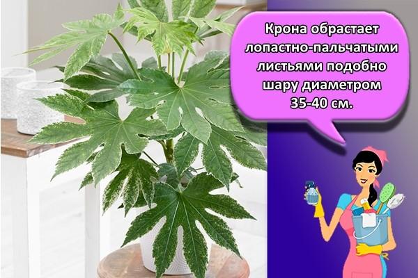 Крона обрастает лопастно-пальчатыми листьями подобно шару диаметром 35-40 см.