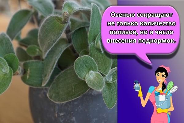 Осенью сокращают не только количество поливов, но и число внесения подкормок.