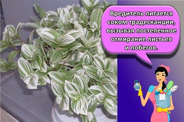 Вредитель питается соком традесканции, вызывая постепенное отмирание листьев и побегов.