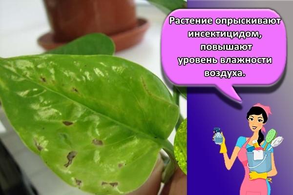 Растение опрыскивают инсектицидом, повышают уровень влажности воздуха.