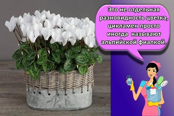 Это не отдельная разновидность цветка, цикламен просто иногда называют альпийской фиалкой.