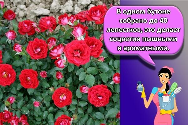 В одном бутоне собрано до 40 лепестков, это делает соцветия пышными и ароматными.