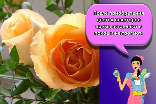 После приобретения цветок некоторое время оставляют в покое и не трогают.