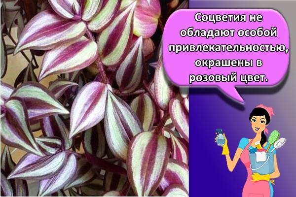Соцветия не обладают особой привлекательностью, окрашены в розовый цвет.