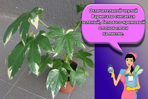 Отличительной чертой Вариегаты считается зеленый, беловато-кремовый оттенок пятен на листве.