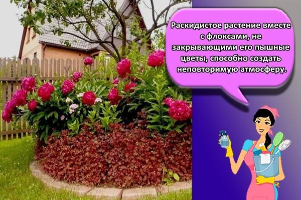Раскидистое растение вместе с флоксами, не закрывающими его пышные цветы, способно создать неповторимую атмосферу.