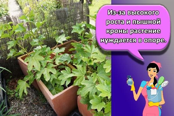 Из-за высокого роста и пышной кроны растение нуждается в опоре.