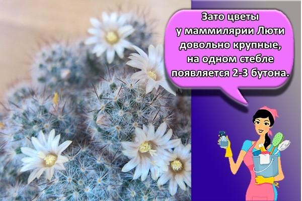 Зато цветы у маммилярии Люти довольно крупные, на одном стебле появляется 2-3 бутона.