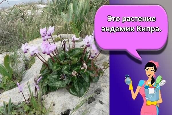 Это растение эндемик Кипра.
