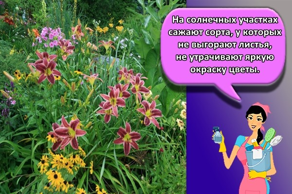 На солнечных участках сажают сорта, у которых не выгорают листья, не утрачивают яркую окраску цветы.