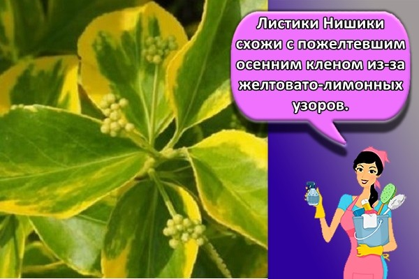 Листики Нишики схожи с пожелтевшим осенним кленом из-за желтовато-лимонных узоров.