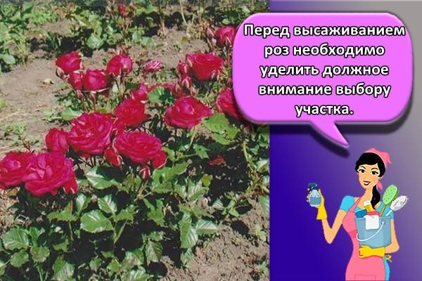 Перед высаживанием роз необходимо уделить должное внимание выбору участка.