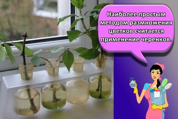 Наиболее простым методом размножения цветков считается применение черенков.