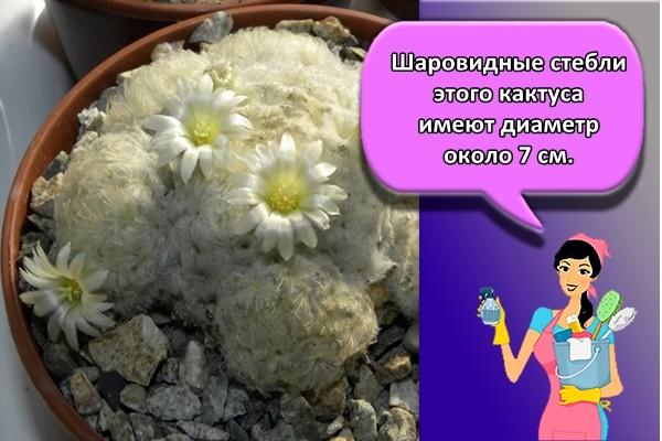 Шаровидные стебли этого кактуса имеют диаметр около 7 см.
