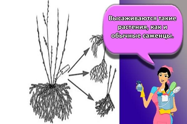 Высаживаются такие растения, как и обычные саженцы.