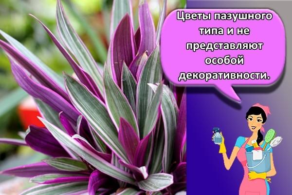 Цветы пазушного типа и не представляют особой декоративности.