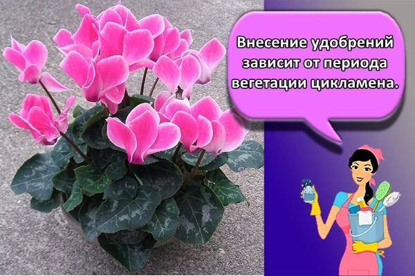 Внесение удобрений зависит от периода вегетации цикламена.