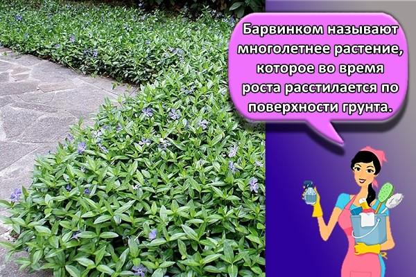 Барвинком называют многолетнее растение, которое во время роста расстилается по поверхности грунта.