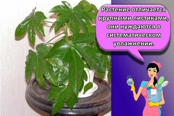 Растение отличается крупными листиками, они нуждаются в систематическом увлажнении.