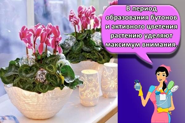 В период образования бутонов и активного цветения растению уделяют максимум внимания.