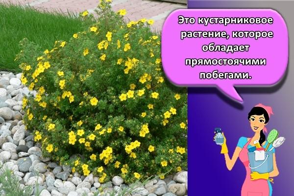 Это кустарниковое растение, которое обладает прямостоячими побегами.