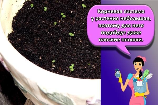 Корневая система у растения небольшая, поэтому для него подойдут даже плоские плошки.