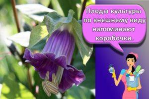 Правила выращивания кобеи лазающей из семян, особенности посадки и ухода