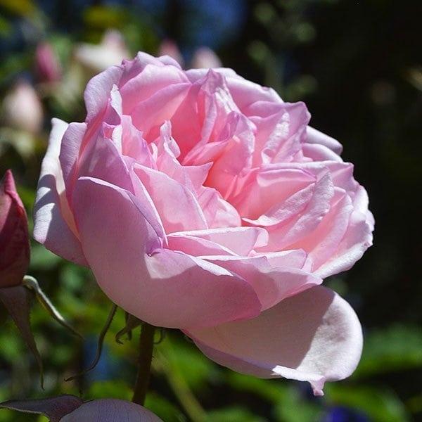 Это очень красивое растение, которое имеет розовые лепесточки с нежным красным оттенком.