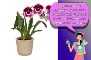 Правила посадки и ухода за орхидеей Мильтония в домашних условиях, методы размножения