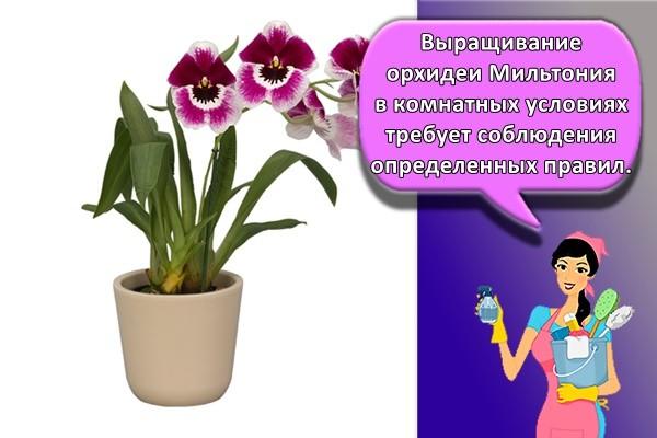 Выращивание орхидеи Мильтония в комнатных условиях требует соблюдения определенных правил.
