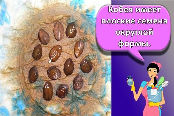 Кобея имеет плоские семена округлой формы.