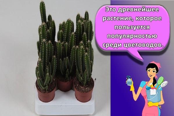 Это древнейшее растение, которое пользуется популярностью среди цветоводов.