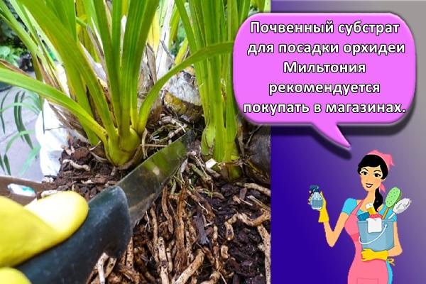 Почвенный субстрат для посадки орхидеи Мильтония рекомендуется покупать в магазинах.