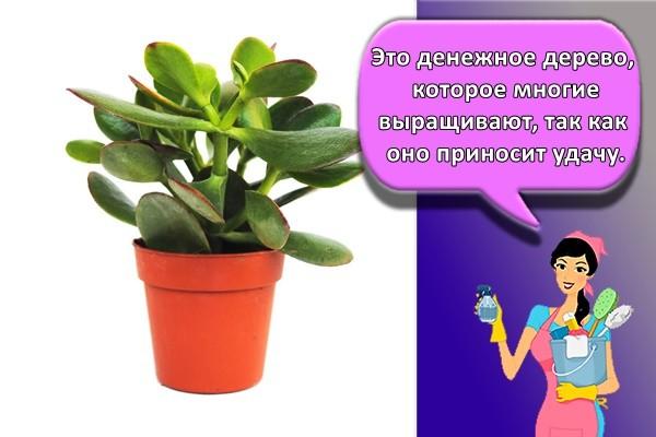Это денежное дерево, которое многие выращивают, так как оно приносит удачу.
