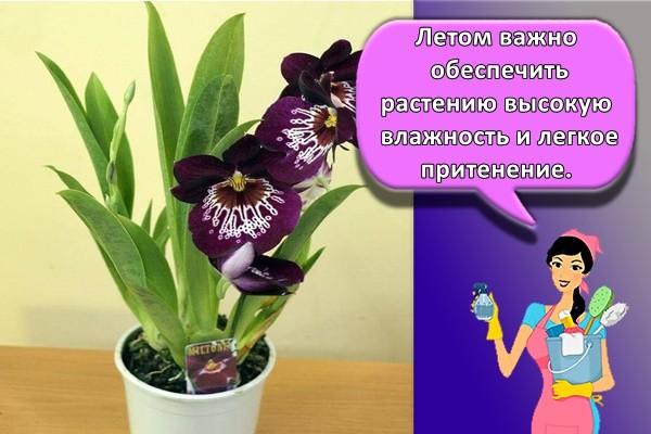 Летом важно обеспечить растению высокую влажность и легкое притенение.