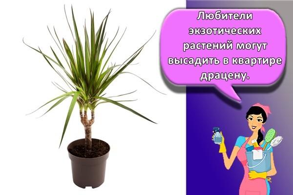 Любители экзотических растений могут высадить в квартире драцену.
