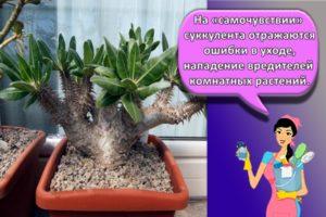 Правила выращивания и ухода за пахиподиумом в домашних условиях