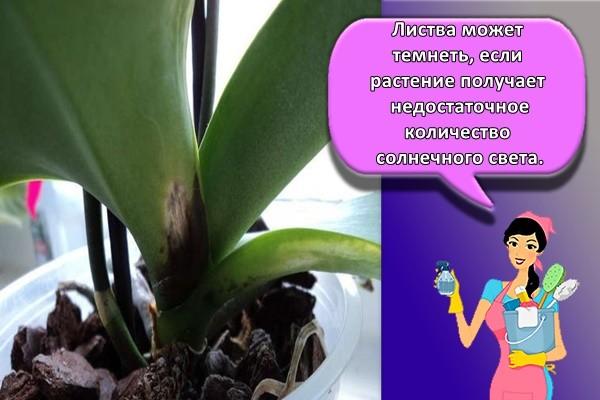 Листва может темнеть, если растение получает недостаточное количество солнечного света.