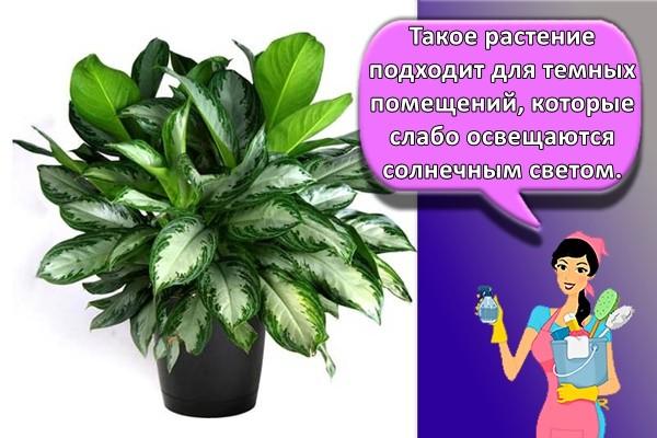 Такое растение подходит для темных помещений, которые слабо освещаются солнечным светом.