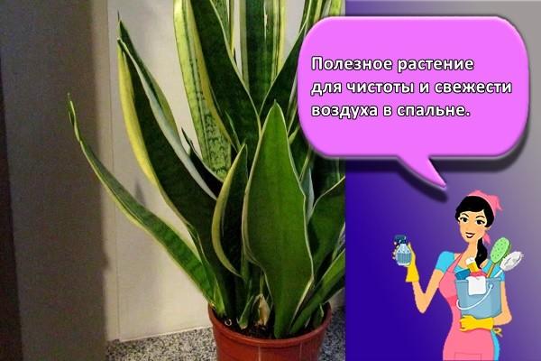 Полезное растение для чистоты и свежести воздуха в спальне.