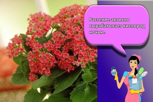 Растение активно вырабатывает кислород ночью.