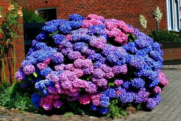 Цветки розовые с синей сердцевиной и зеленой каймой