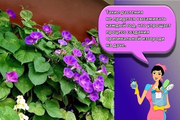 Такие растения не придется высаживать каждый год, что упрощает процесс создания оригинальной изгороди на даче.
