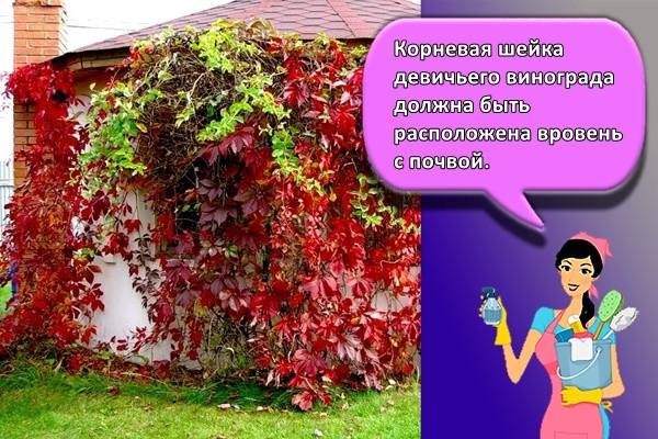 Корневая шейка девичьего винограда должна быть расположена вровень с почвой.