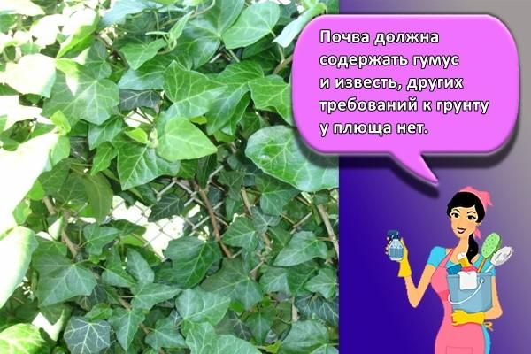 Почва должна содержать гумус и известь, других требований к грунту у плюща нет.