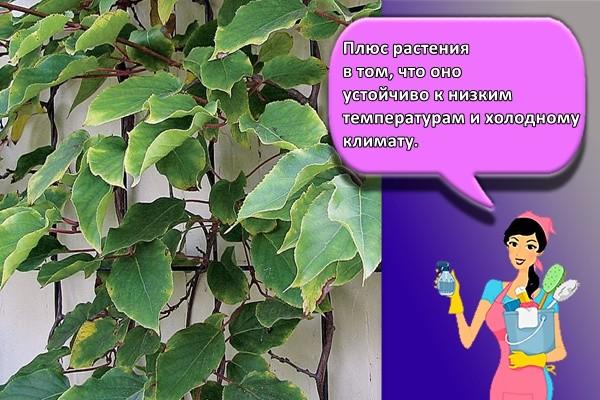 Плюс растения в том, что оно устойчиво к низким температурам и холодному климату.