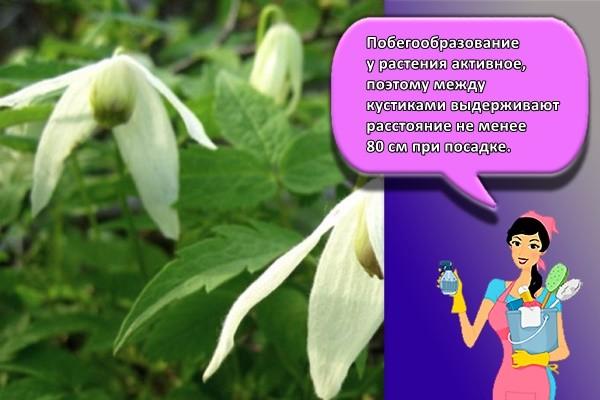 Побегообразование у растения активное, поэтому между кустиками выдерживают расстояние не менее 80 см при посадке.