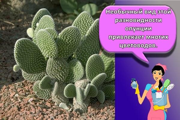 Необычный вид этой разновидности опунции привлекает многих цветоводов.