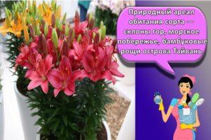 Правила ухода и выращивания комнатных лилий в домашних условиях, лучшие сорта