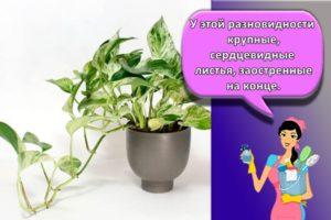 Выращивание, посадка и уход за сциндапсусом в домашних условиях